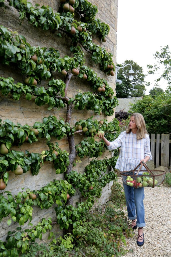 Espalier Fruit Tree as Garden Decorations