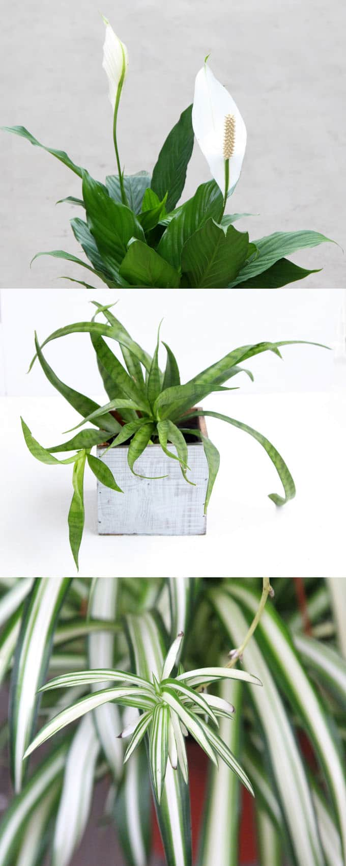 12 easy air purifying indoor plants for beauty well for Best easy indoor plants