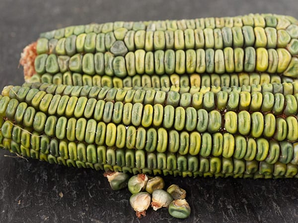 Corn-Oaxacan-green