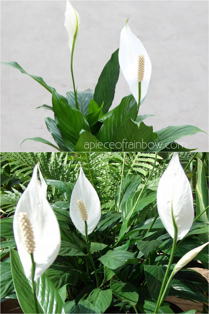 Best indoor plants for low light: Peace Lily (Spathiphyllum )