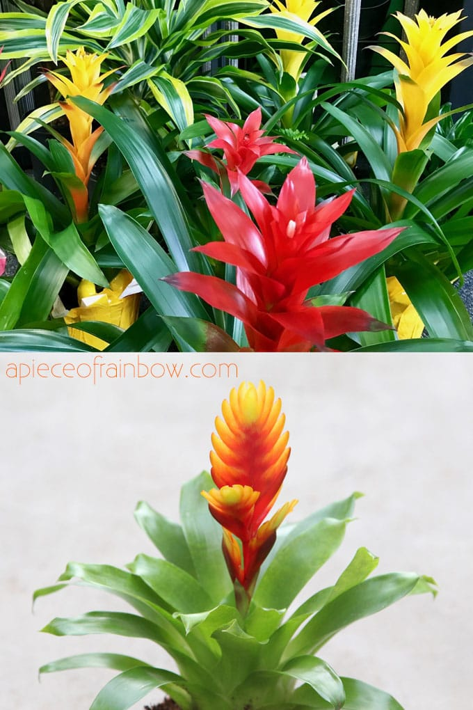 tropical Bromeliads are colorful flowering indoor plants