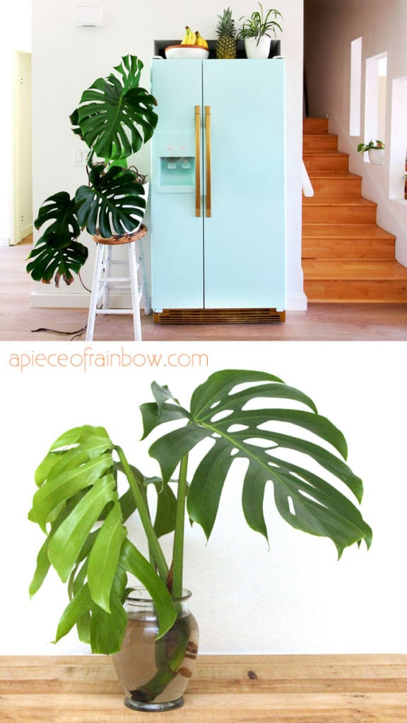 Monstera deliciosa is a super popular house plant for boho interiors, with tropical leaves, and very easy to grow