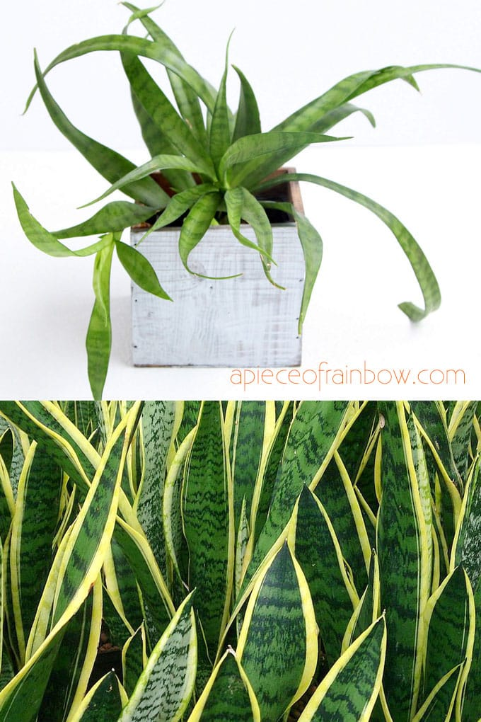 Air Purifying Indoor Plants  Sansevieria aka Snake plant with leaf patterns