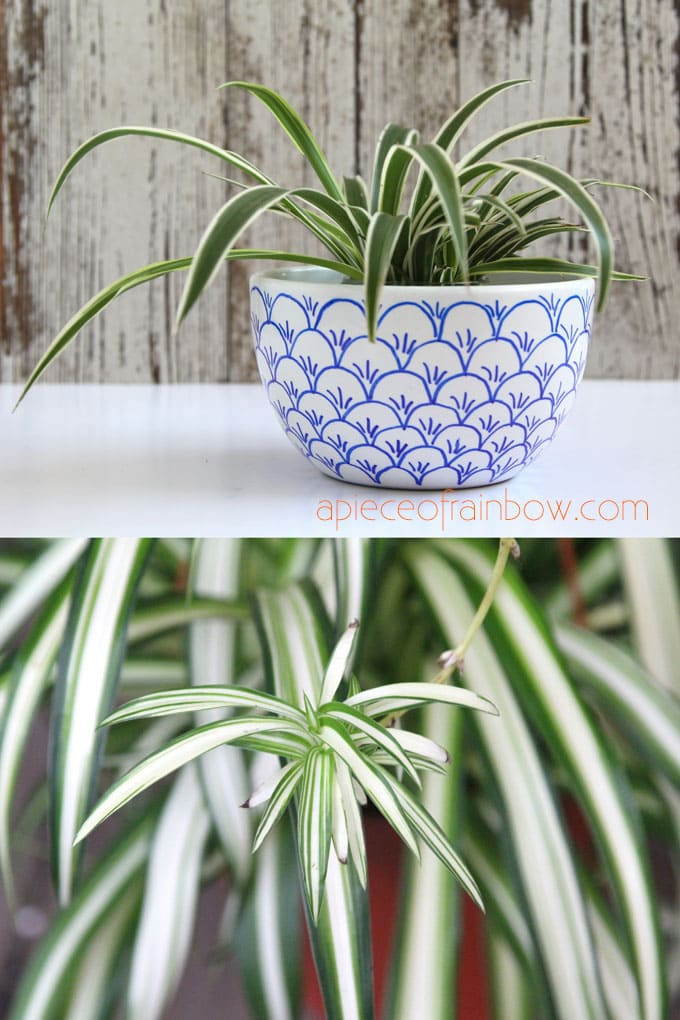 Spider Plant is an easy to grow hanging house plant  (Chlorophytum comosum )