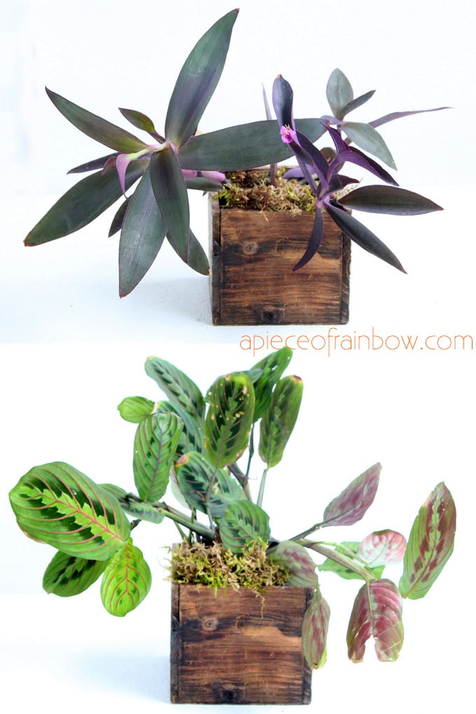 Best air purifying indoor plants with colorful pattern foliage: Maranta leuconeura / Prayer Plant and Tradescantia pallida / Purple Heart