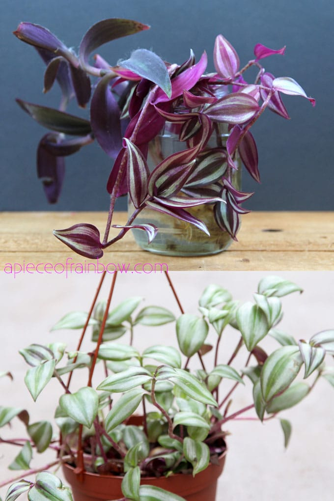 air purifying indoor plants with colorful purple foliage: Tradescantia zebrina | Wandering Jew