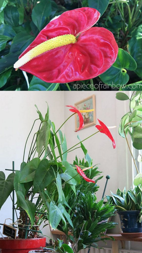 Anthurium andraeanum / Flamingo Lily with super bright red flowers: Beautiful air purifying indoor plants for boho and tropical jungle style