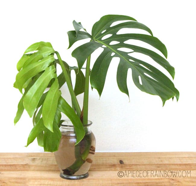 12 easy indoor plants for beauty clean air a piece of rainbow - Indoor water plants list ...