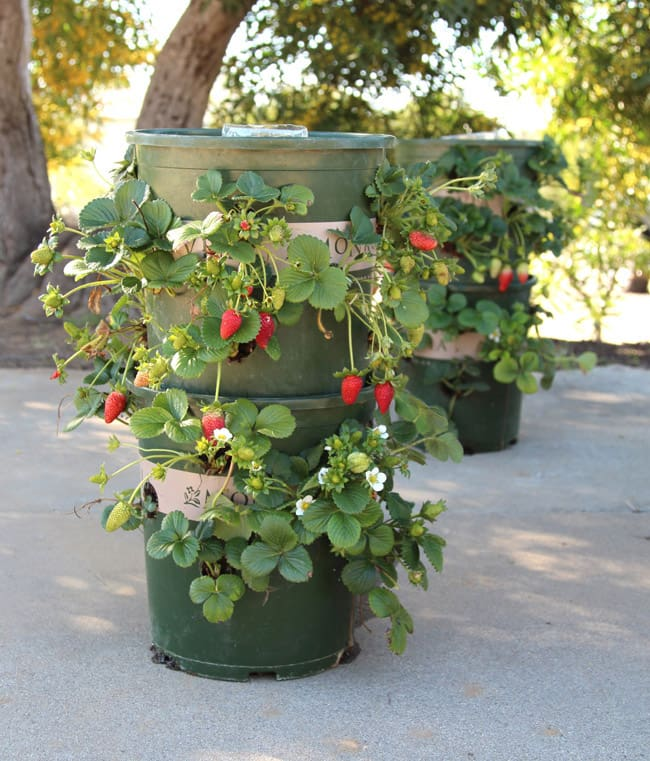 Strawberry Tower with Reservoir | Incredible Tower Garden Ideas For Homesteading In Limited Space