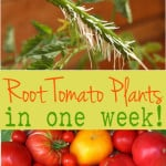 How to root tomato cuttings in just one week! Now you can multiply lots of tomato plants quickly and for free! | A Piece Of Rainbow
