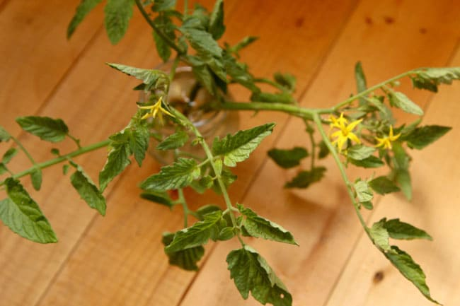 propagate-tomatoes-apieceofrainbowblog (5)