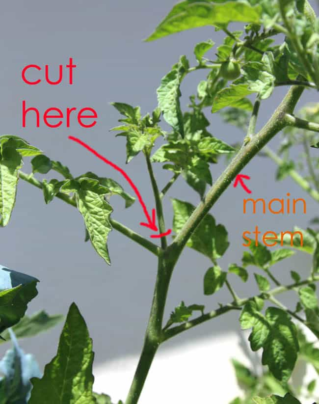 how to prune tomato cuttings