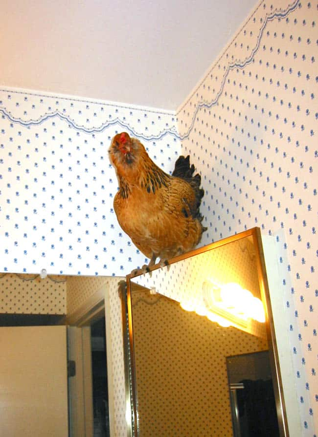 backyad_chickens_how_to_apieceofrainbowblog (5)