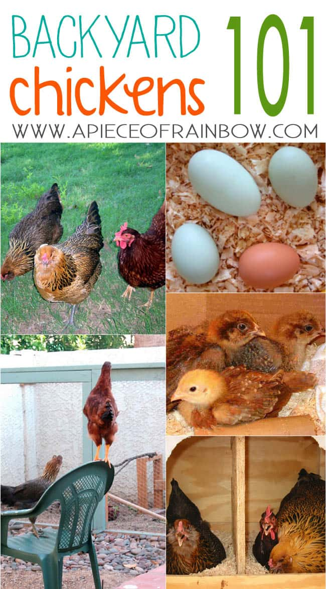 Backyad_chickens_how_to_apieceofrainbowblog