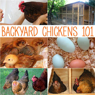 7 essential steps on how to get started with backyard chickens! - A Piece Of Rainbow Blog