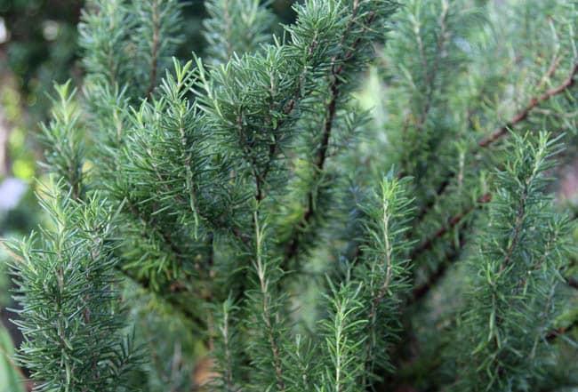 make-herb-infused-oil-apieceofrainbowblog (7)
