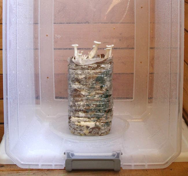 large clear plastic bin to grow mushrooms in used coffee grounds and cardboard