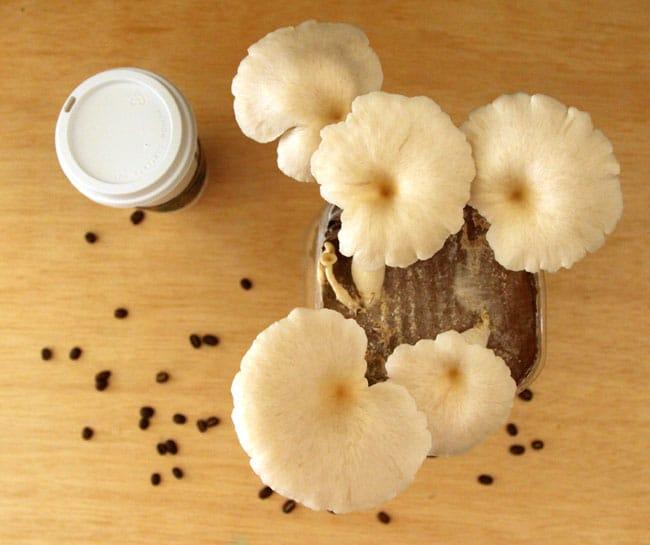grow-mushrooms-on-coffee-grounds-apieceofrainbowblog (31)