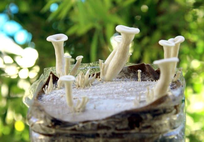 grow-mushrooms-on-coffee-grounds-apieceofrainbowblog (5)