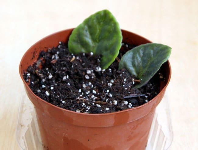 grow-african-violet-apieceofrainbowblog (10)