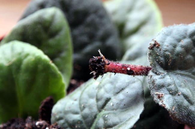 grow-african-violet-apieceofrainbowblog (15)