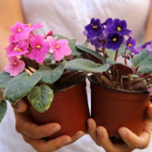 How to grow African Violet easily from leaf cuttings! Two simple yet fail proof propagation methods are covered in detail here! - A Piece Of Rainbow Blog