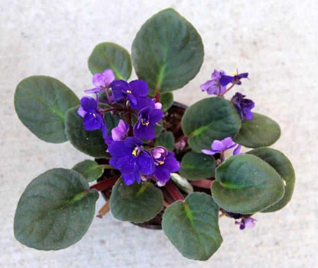 grow-african-violet-apieceofrainbowblog (6)