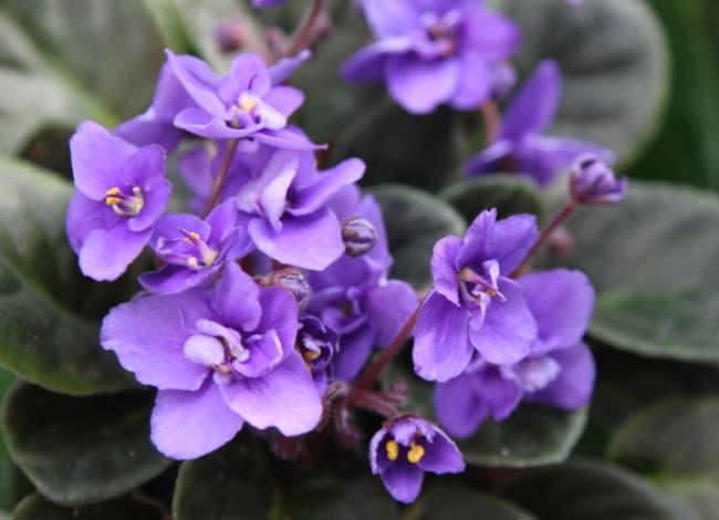 grow-african-violet-apieceofrainbowblog (7)