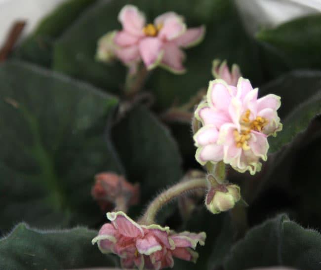 grow-african-violet-apieceofrainbowblog (8)