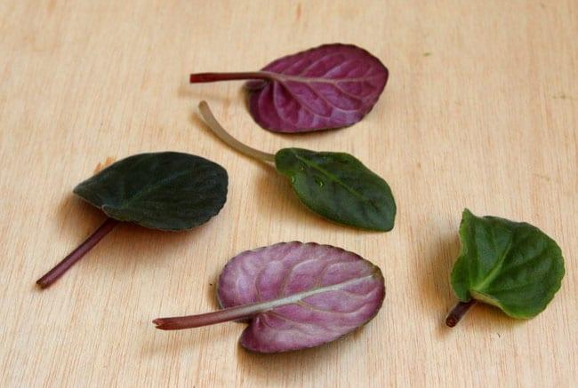 grow-african-violet-apieceofrainbowblog (9)