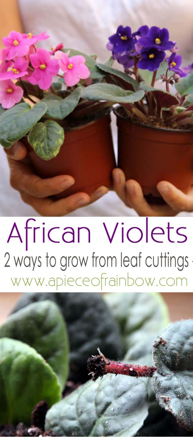 grow-african-violet-apieceofrainbowblog