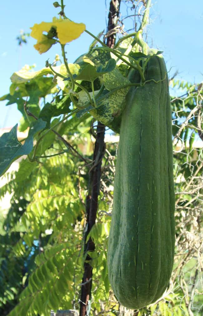 grow-luffa-sponge-gourd-apieceofrainbowblog (12)
