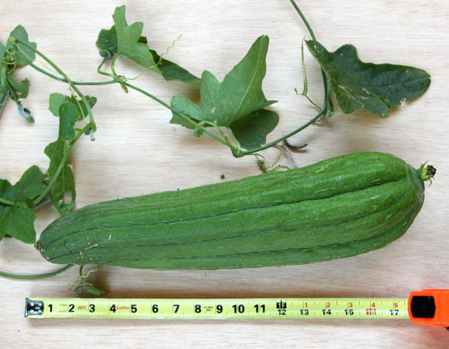 grow-luffa-sponge-gourd-apieceofrainbowblog (13)