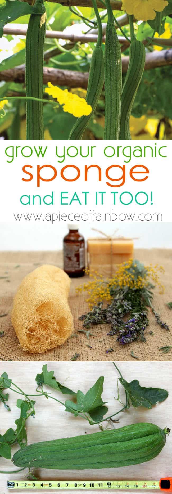grow-luffa-sponge-gourd-apieceofrainbowblog 1