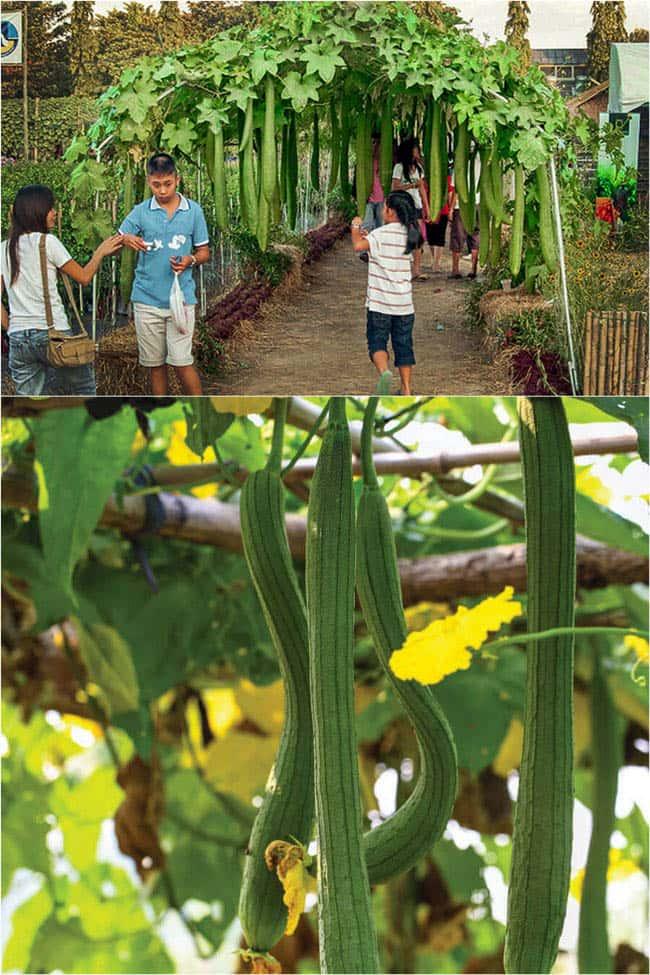 grow-luffa-sponge-gourd-apieceofrainbowblog (5)