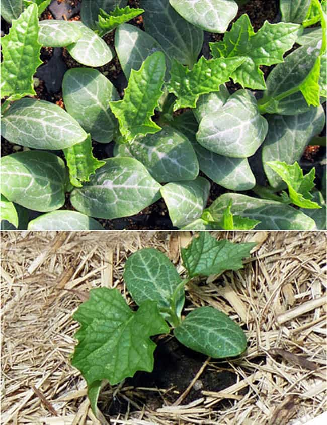 grow-luffa-sponge-gourd-apieceofrainbowblog (6)