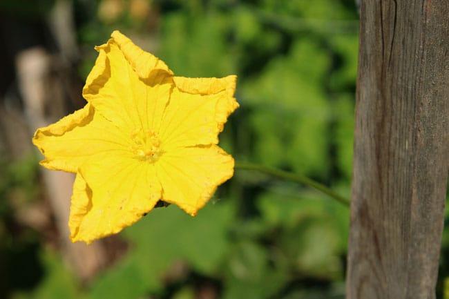 grow-luffa-sponge-gourd-apieceofrainbowblog (8)