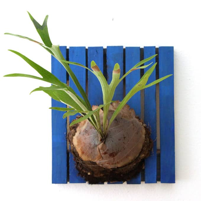 How To Grow, Mount And Propagate Staghorn Fern