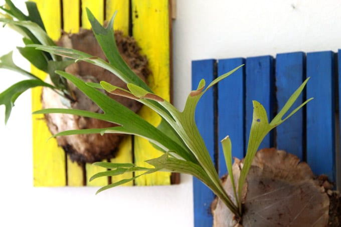 mount-staghorn-fern-apieceofrainbowblog (9)