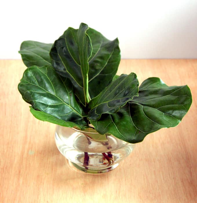 how to root fiddle leaf fig from stem or leaf cuttings now you can have