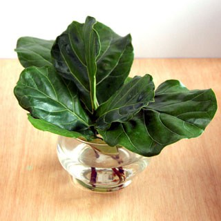 propagate-fiddle-leaf-fig-apieceofrainbowblog 320