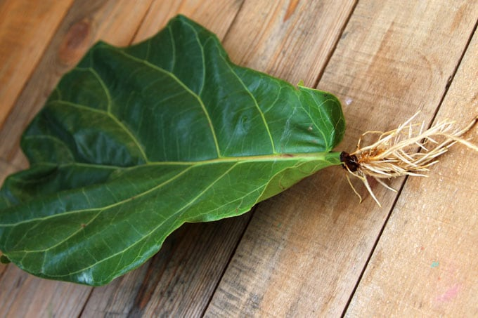 propagate-fiddle-leaf-fig-apieceofrainbowblog (5)