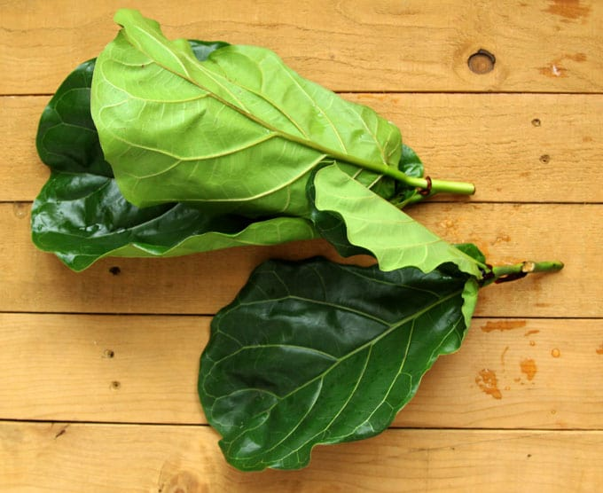 Propagate Fiddle Leaf Fig Apieceofrainbowblog 6