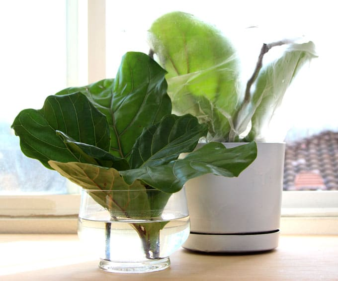 Propagate Fiddle Leaf Fig Apieceofrainbowblog 9