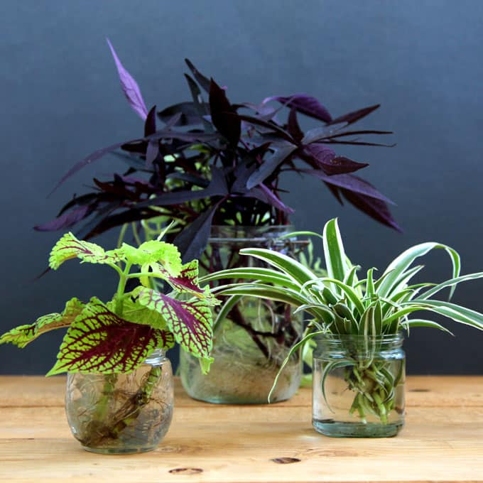 Grow beautiful indoor plants in water a piece of rainbow for Best easy indoor plants