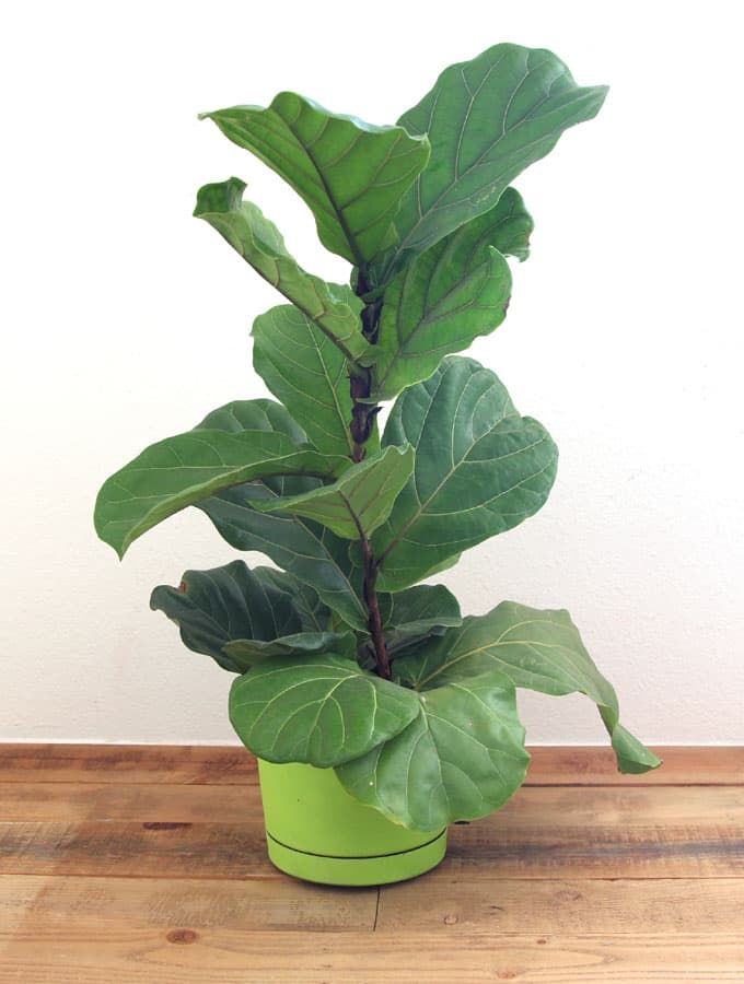 How To Root Fiddle Leaf Fig From Stem Or Cuttings Now You Can Have