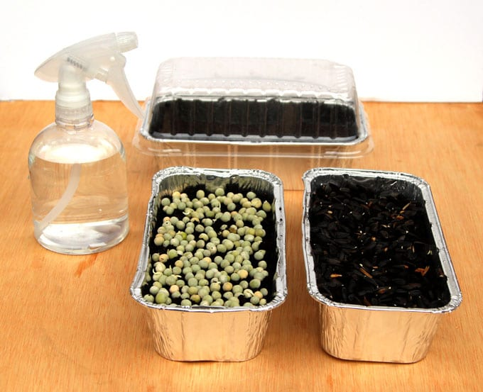 grow pea and sunflower sprouts