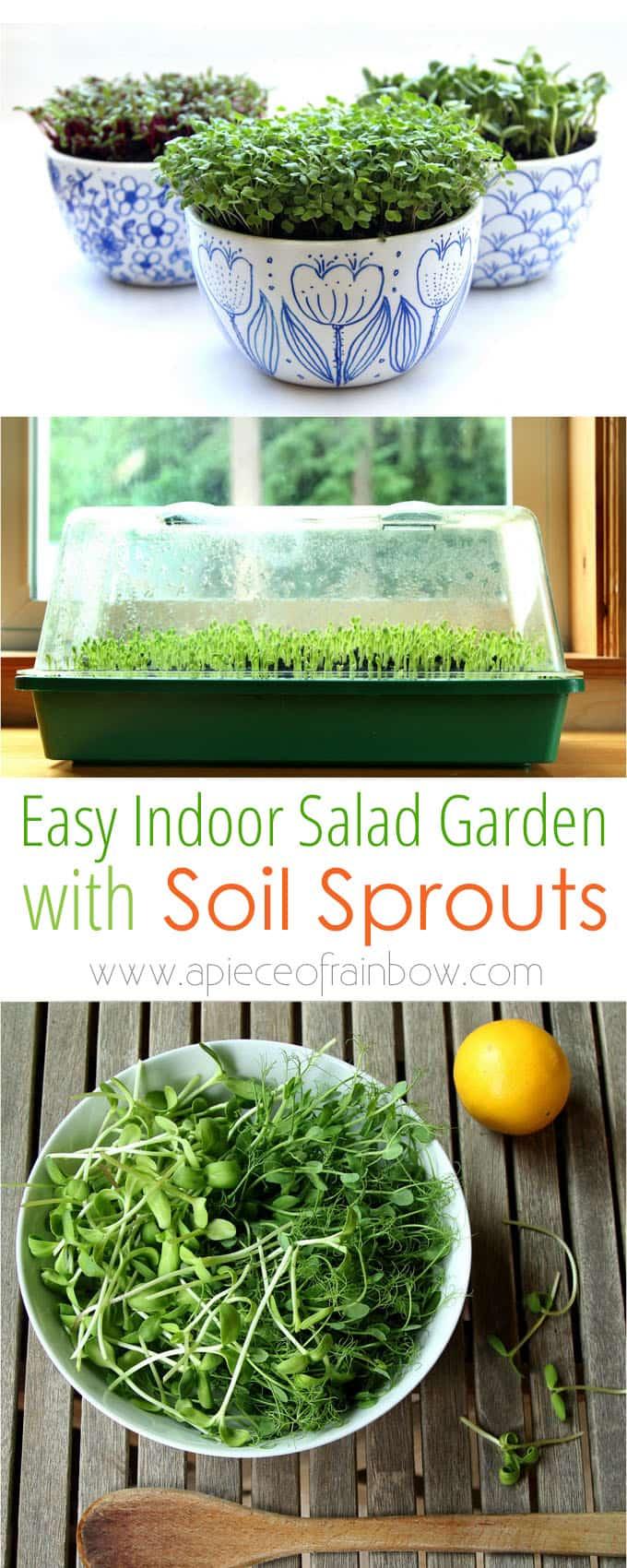 indoor salad gardening, grow  sprouts in soil