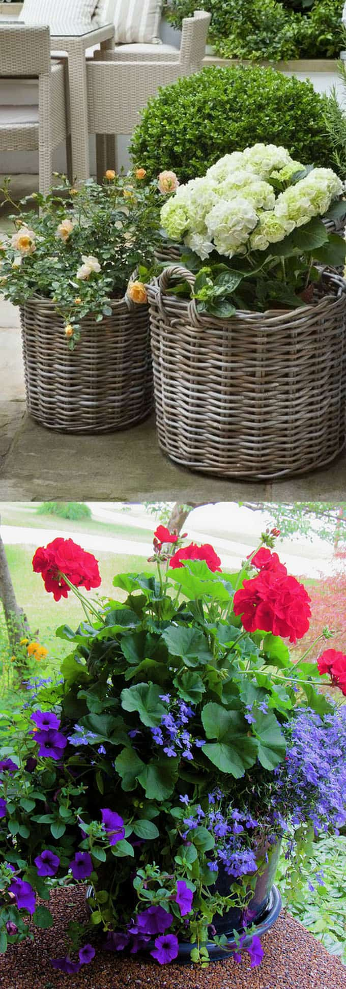 roses and geraniums in pots