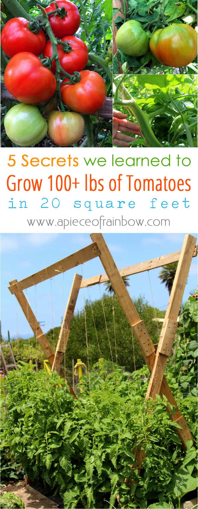 5 proven secrets we learned from experts on how to grow tomatoes & harvest over 100 lbs in 20 square feet! Lots of care tips on soil & free trellis plan!